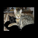 savannah kittens ya1f