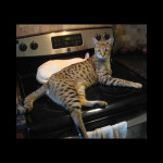 savannah kittens ya1l