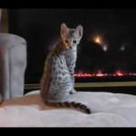 savannah kittens ya1m