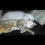savannah kittens ya1o