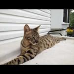 savannah kittens ya5b