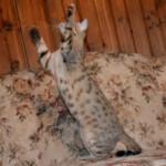 maggie savannah cat 1a