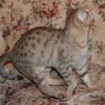 maggie savannah cat 1b