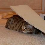 maggie savannah cat 1e