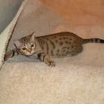 maggie savannah cat 1f