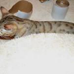 maggie savannah cat 1g