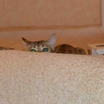 maggie savannah cat 1h