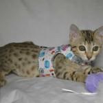 maggie1a Savannah Cat