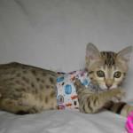 maggie1b Savannah Cat