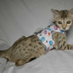 maggie1c Savannah Cat