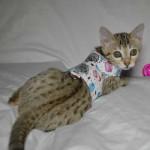 maggie1d Savannah Cat