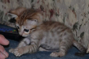 savannah cat maggie
