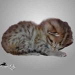 savannah cat maggie1b