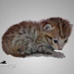 savannah cat maggie1c
