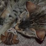savannah cat maggie1d