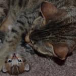 savannah cat maggie1e