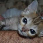 savannah cat maggie1f