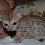 savannah cat maggie1h