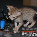 savannah cats maggie1a