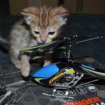 savannah cats maggie1e