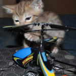 savannah cats maggie1f