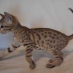 savannah kitten maggie1a