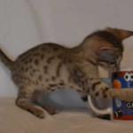 savannah kitten maggie1c
