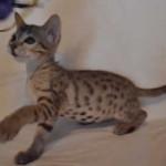 savannah kitten maggie1d