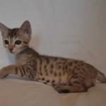 savannah kitten maggie1e