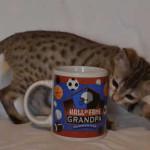savannah kitten maggie1f