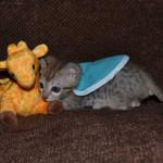 savannah kittens maggie1a