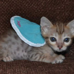 savannah kittens maggie1b