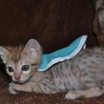 savannah kittens maggie1d