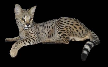 Savannah Cats F Generations Explained.