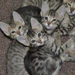Savannah Cats as Petsa