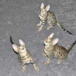 Savannah Cats as pets