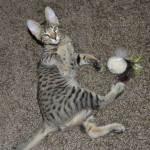 Savannah Cats as Pets c