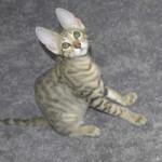 Savannah Cats as Pets d