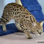 Brown Spotted Tabby Savannah Kittens