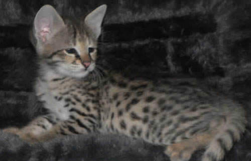 Savannah Kittens F2 Genertaion