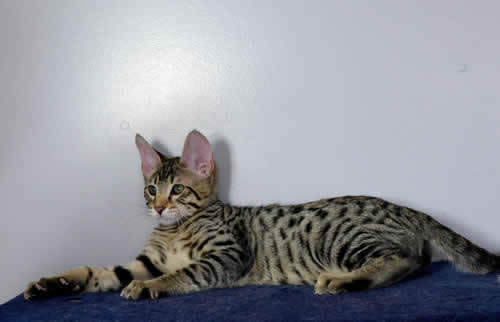 Savannah Kittens F6 Generation