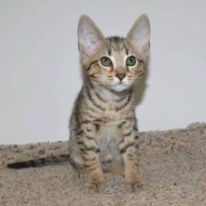 f5-savannah kittens-nf4g