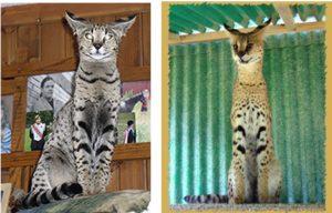 How large do Savannah Cats get