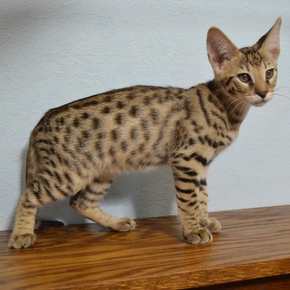 F2-savannah-kittens-zinab11213e