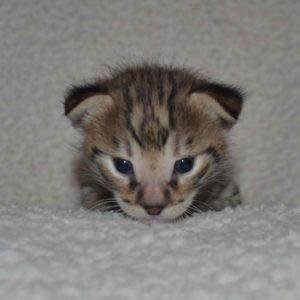 F2-savannah-kittens-zinab1a