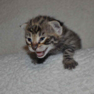 F2-savannah-kittens-zinag1a