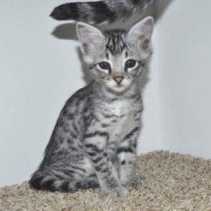 f2-savanna-kittens-tb0901e