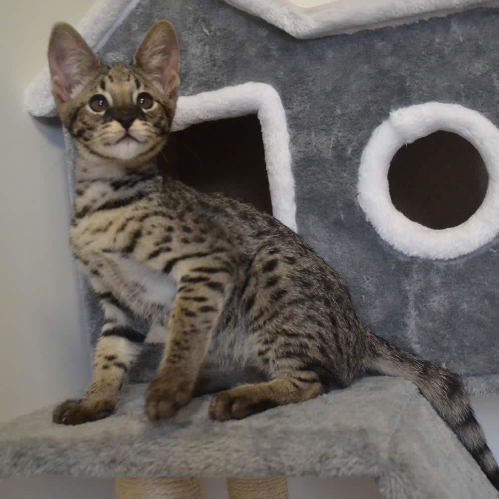 Savannah Kittens | Kitten For Sale | Savannah Cats
