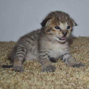 f2-savannah-kittens-nadif1d