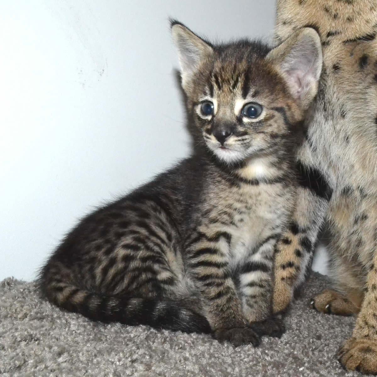 f2 savannah kittens nadif2l